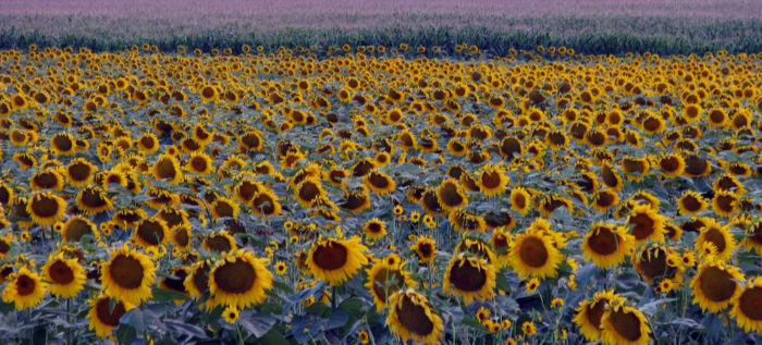 6. Sunflowers going to sleep at night are simply beautiful.