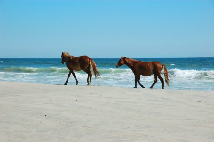 8. Catch a glimpse of North Carolina's wild horses found along the Outer Banks.