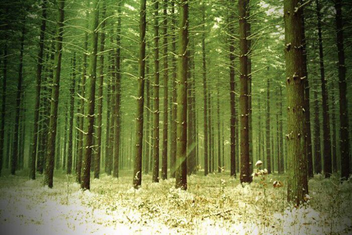 The Pine trees are gorgeous no matter what time of year you visit.