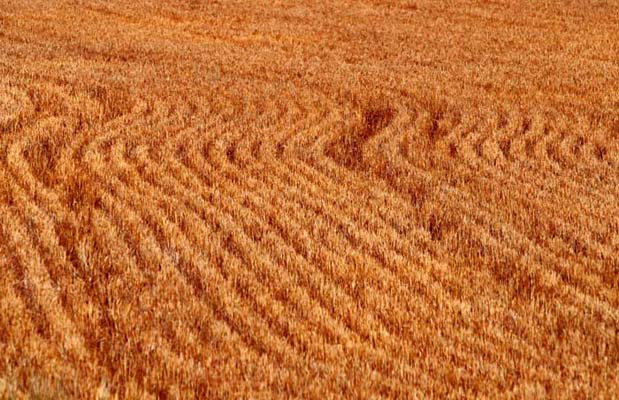 """4. A wheat field in central Nebraska really brings to mind """"amber waves of grain,"""" doesn't it?"""