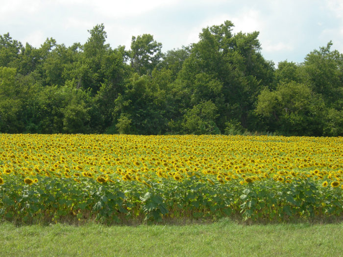 10. Happy sunflowers bask in the summer glow.
