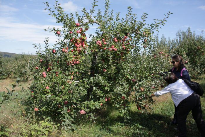 2. Go apple picking in Winchester