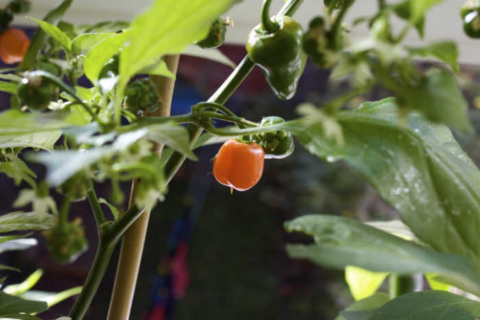 This is a Habanero.