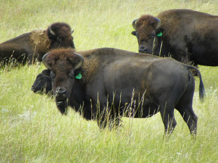 14. This really is a home where the buffalo roam.