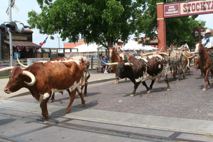 7. The city's cattle drive is the only one in the world that takes place twice daily.