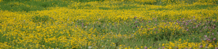 11. The photographer notes that this field is full of bird's foot trefoil and red clover.
