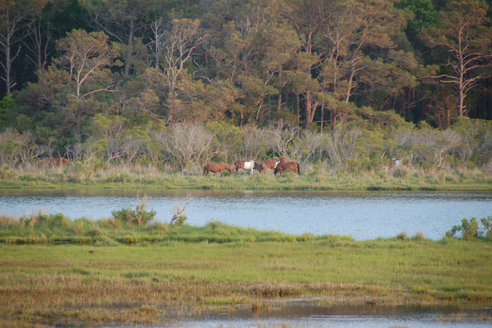 8. See the wild ponies of Chincoteague