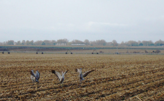 12. Sandhill cranes help to clean up the leftover corn from this field during their annual migration.