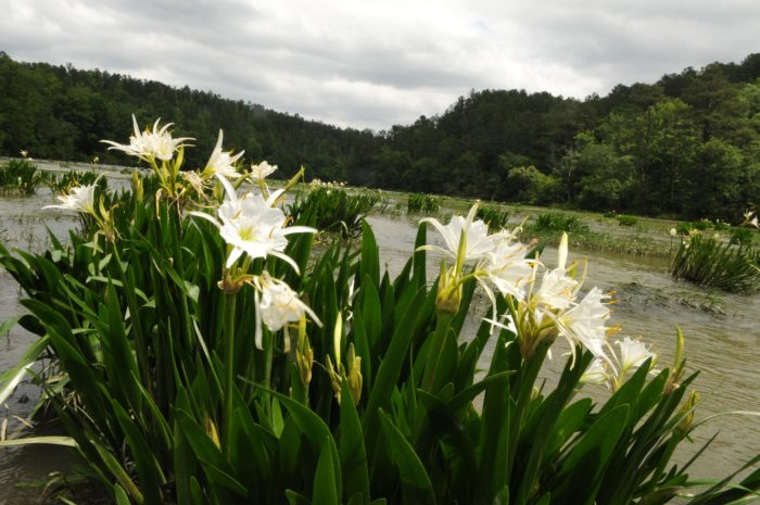 10.  An abundance of Cahaba lillies grow from mid-May to mid-June in the Cahaba River. The majority of these plants are located within the Cahaba River National Wildlife Refuge.