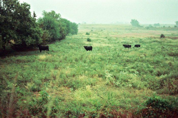 15. Cattle lazily munch on this field somewhere in Nebraska.