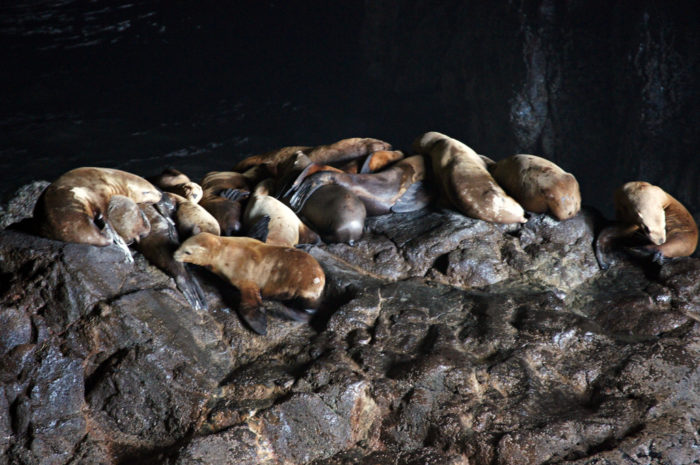 You will most likely see a great deal of Stellar Sea Lions lounging on the rocks.