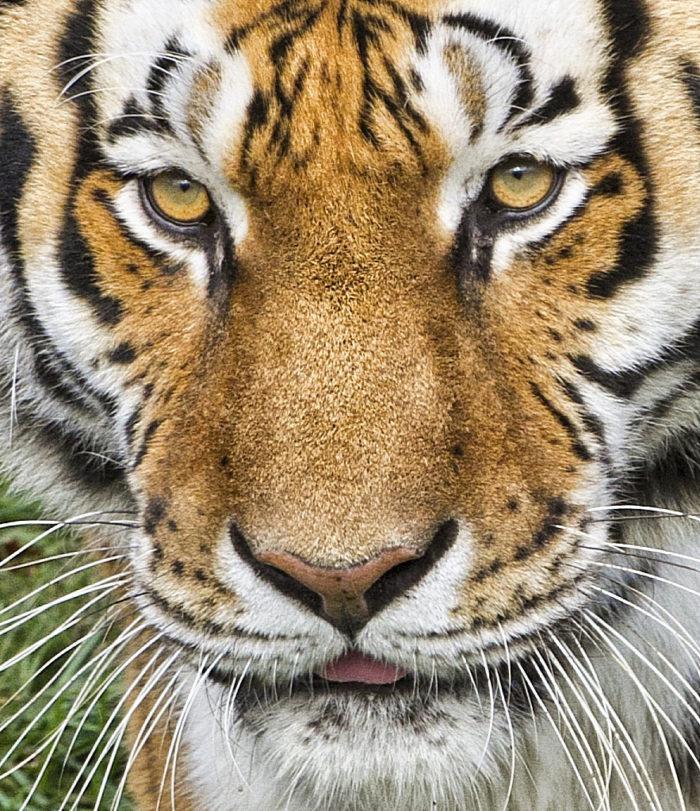 7. National Tiger Sanctuary - Chestnutridge, MO