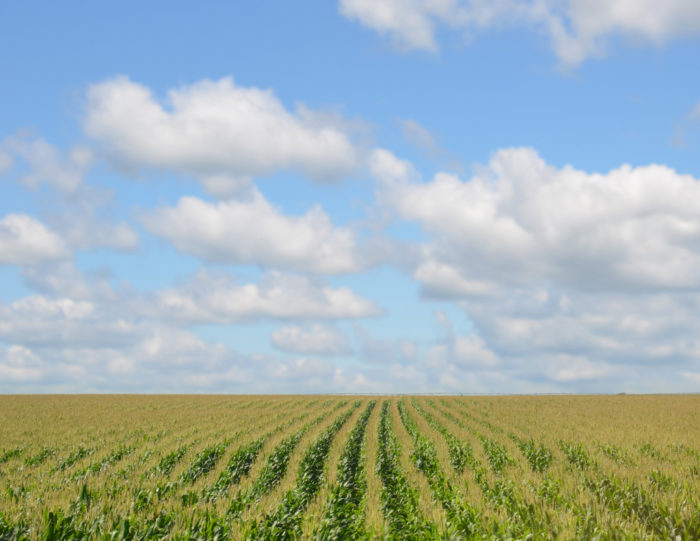 17. Tidy rows of corn line up under a sky full of fluffy clouds.