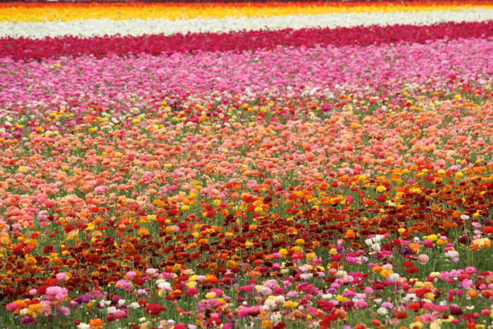 5. The Carlsbad Flower Fields are one of the highlights to experience in North County. These vibrant blooms show up from March through early May each and every year.