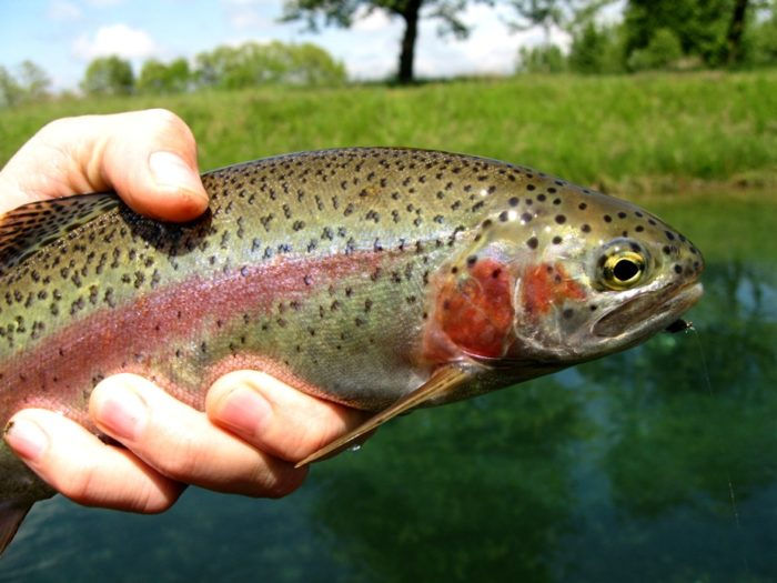 Don't forget about all the rainbow trout you can catch there!