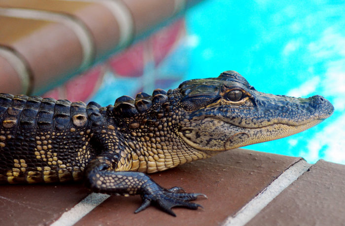 8. They won't go on any outdoor trips with you because they're afraid of gators.