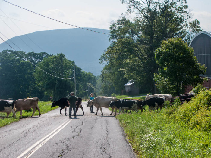 2.  Instead of stopping at a train crossing, you've stopped for cows.