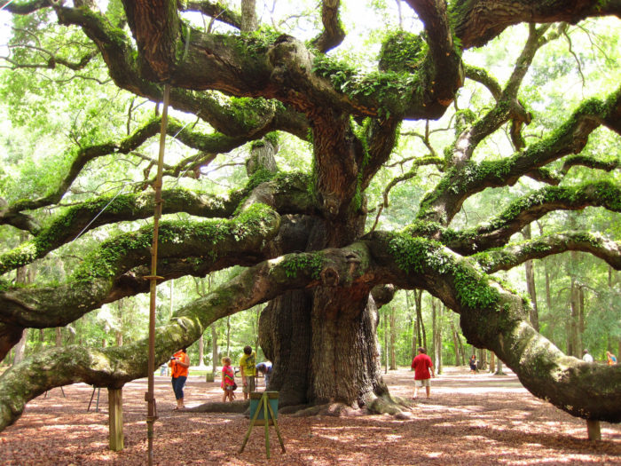 Meet the Angel Oak.