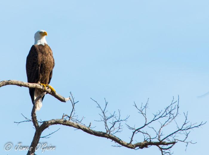 Or a grand bald eagle.