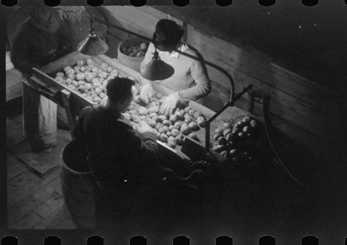 4. At the Woodman Potato Company in Caribou, men grade the product.
