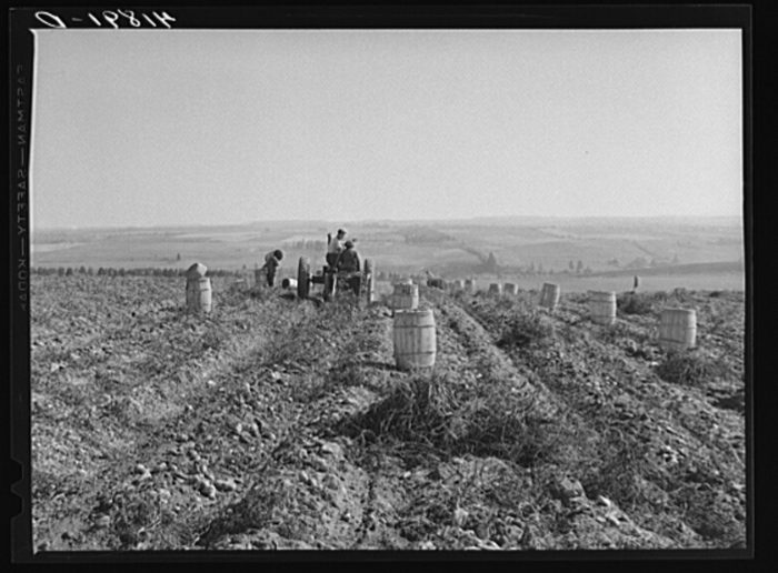 8. Hard at work. This is a tractor-drawn potato digger in a field near Caribou.