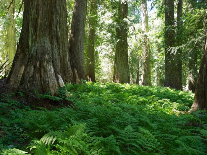 12. Visit one of Idaho's historic cedar groves.