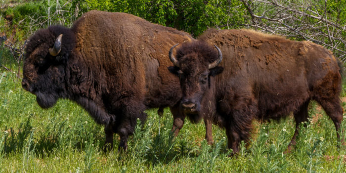 11. Say hi to the bison!