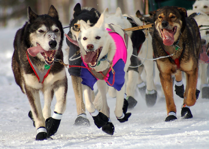 4. Say that you think dog mushing is not humane.