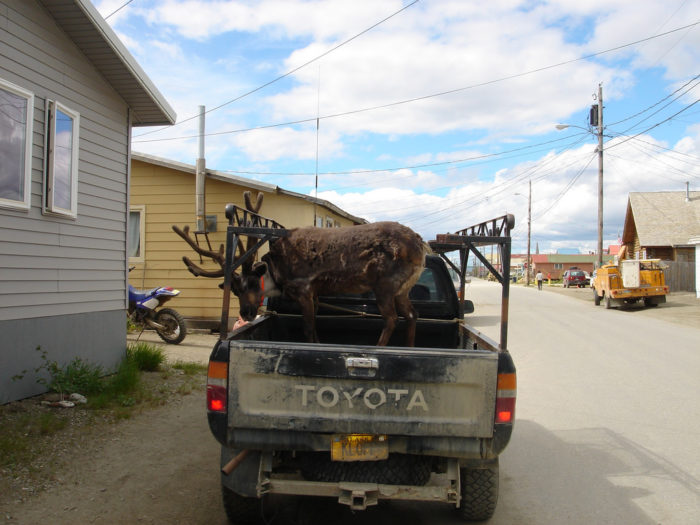 17. Reindeer out for a daily ride along.