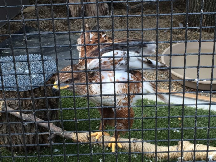 Another five percent can't be released, so they stay on at the rehabilitation center as education birds.