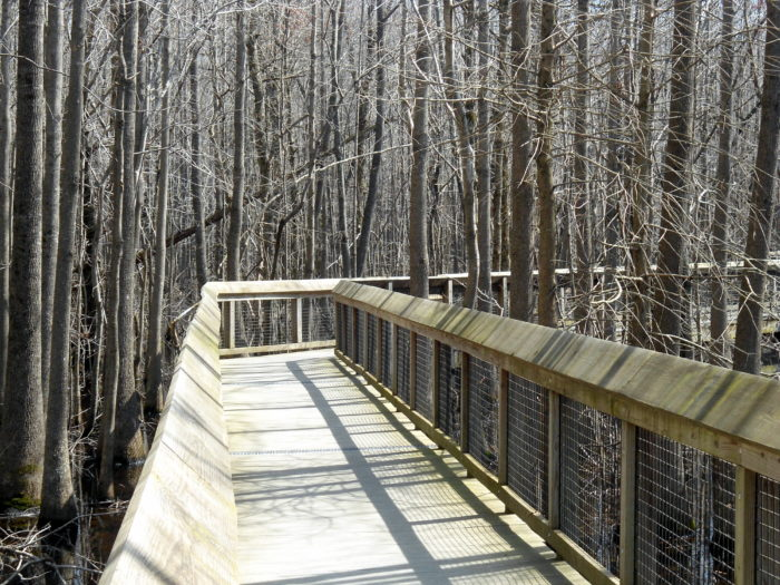 The boardwalk also offers you an incredible opportunity to explore the swamp without getting your feet muddy. You can literally walk above the water while being immersed in the nature all around you.