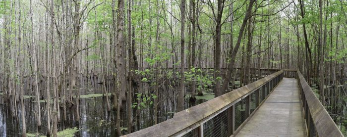 The boardwalk is 950 feet long and marked with interpretative signs about the significance of the expedition and the ecology of the swamp all around it.