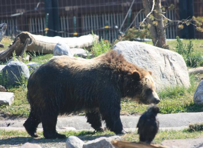 5.  Grizzly & Wolf Discovery Center