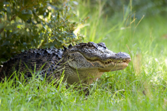 6. Three alligators have lived in the White House.