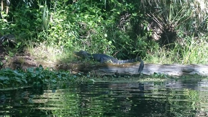 alligator-vom-kanu-aus