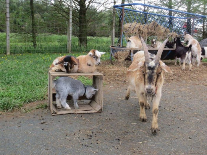 And a petting zoo, popular for the rambunctious and painfully adorable goats.