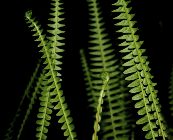 The beauty of ferns.
