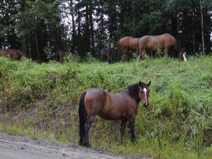 4. Or possibly some wild horses just grazing alongside the road.