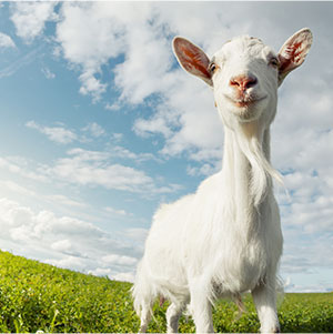 looking-up-at-goat