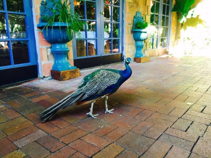 Say hello to the peacocks!