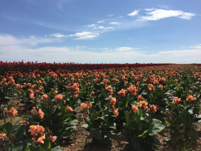 Cannas are an easy to grow, low-maintenance flower. Every bulb at Horn Canna Farm is hand selected, just like Great Grandpa Horn did when he first started.