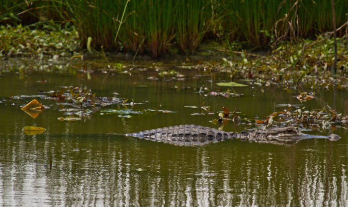 Red Slough is the only place in Oklahoma that alligators are known to breed. The best time to spot the alligators is during the spring and summer months.