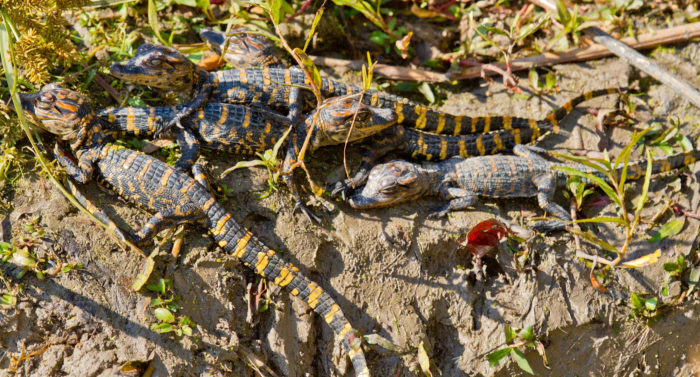 These baby American alligators emerged from their den to bask in the sun.