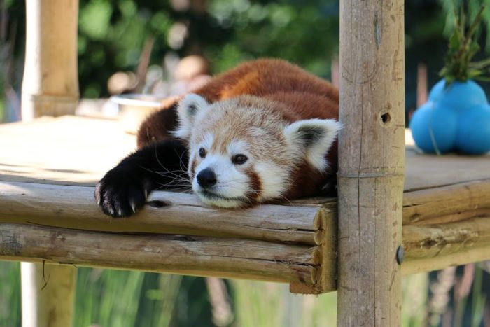 2. The Des Moines Blank Park Zoo became home to a third red panda, Razz, in 2012. It is estimated that there are only about 2,500 to 20,000 red pandas left in the wild.