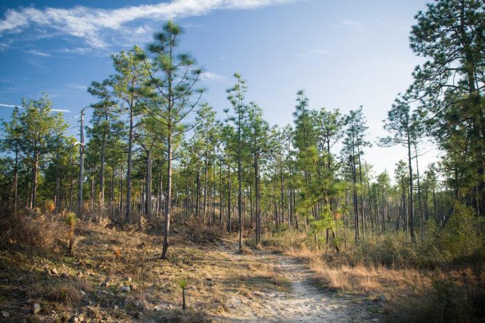 15. Wild Azalea Trail, Kisatchie National Forest