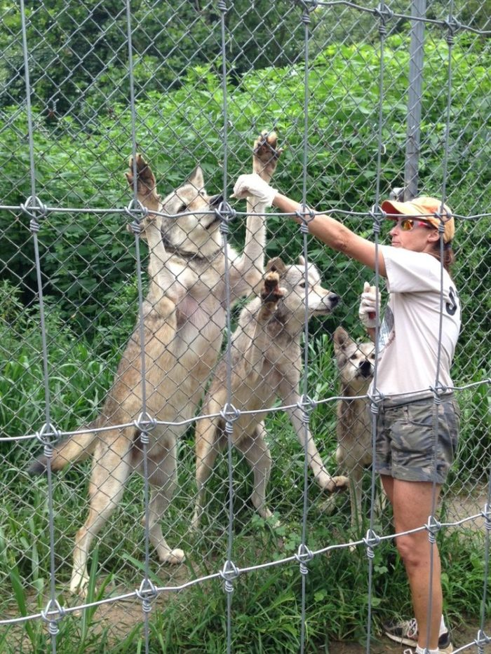 Watch experienced sanctuary caretakers feed the wolves. Tours of the Wolf Sanctuary of PA are held Tuesdays and Thursdays (reservations necessary) and Saturdays and Sundays (no reservation needed). Dress for the weather because you will be outdoors with the wolves.