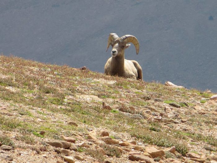 Watch for wildlife - Pikes Peak is home to one of the world's largest herds of Rocky Mountain bighorn sheep.