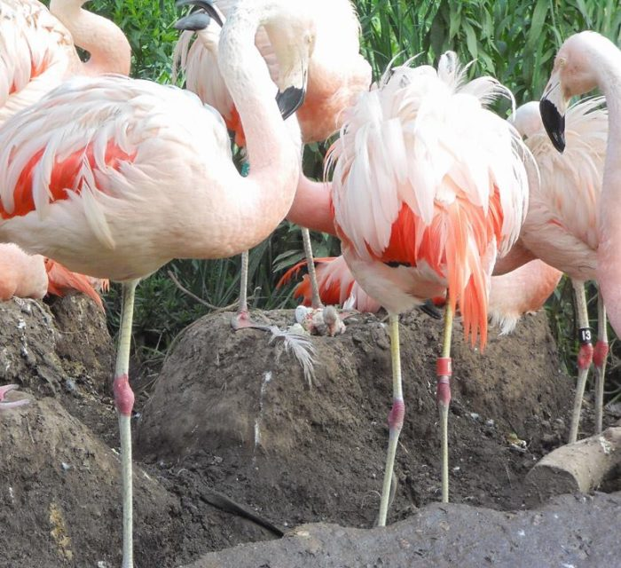 ...and sometimes the star of the show is a baby flamingo chick or two.