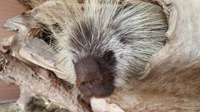 Next to the Visitor Center is a small mammal loop where you can get out and see some smaller animals and birds. This North American porcupine looks like a friendly guy.