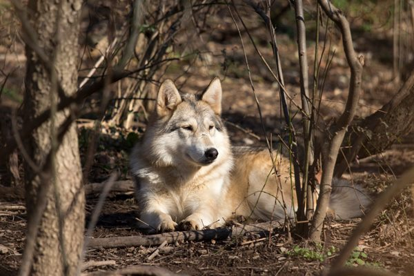 Discover the Speedwell Wolves and learn interesting facts - such as there have been no wild wolves in Pennsylvania for more than a century - at this sanctuary that provides a natural habitat for its residents.